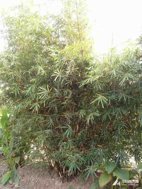 紫竹小苗批发 1公分紫竹多少钱一棵