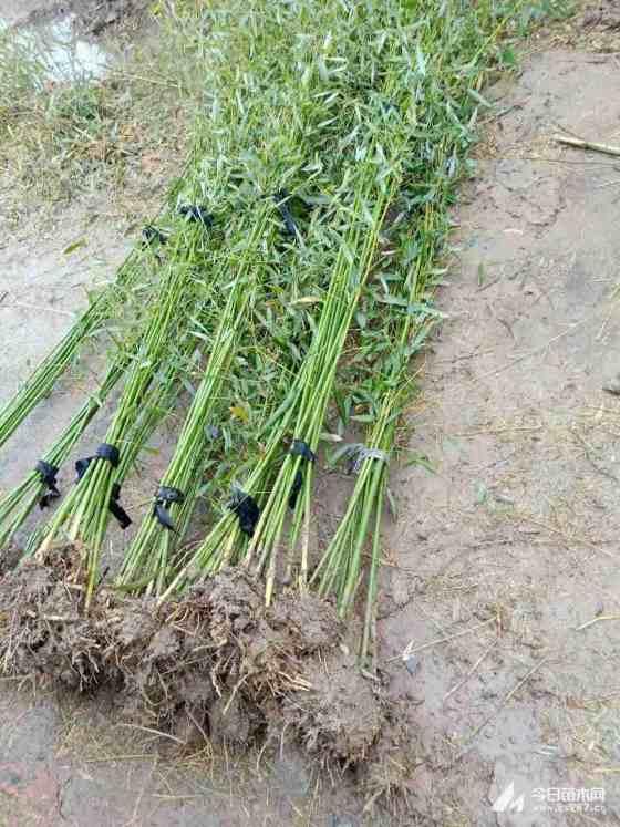 3公分青竹价格 基地4公分青竹多少钱一棵
