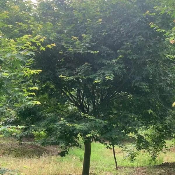 15公分鸡爪槭树价格 浙江鸡爪槭基地供应