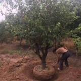 山杏树苗大量出售 山杏树多少钱一棵