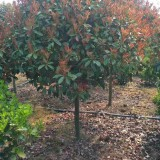 10公分石楠树价格多少 江苏精品石楠树出售
