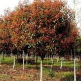 8公分石楠树价格 基地9公分石楠树多少钱一棵