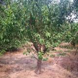 16公分山杏树价格 优质山杏树产地批发