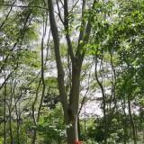 10公分合欢树价格 基地1-21公分合欢树苗批发