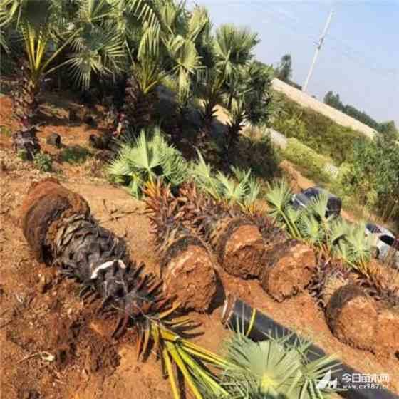 江蘇棕櫚樹價格 2米棕櫚樹多少錢一棵