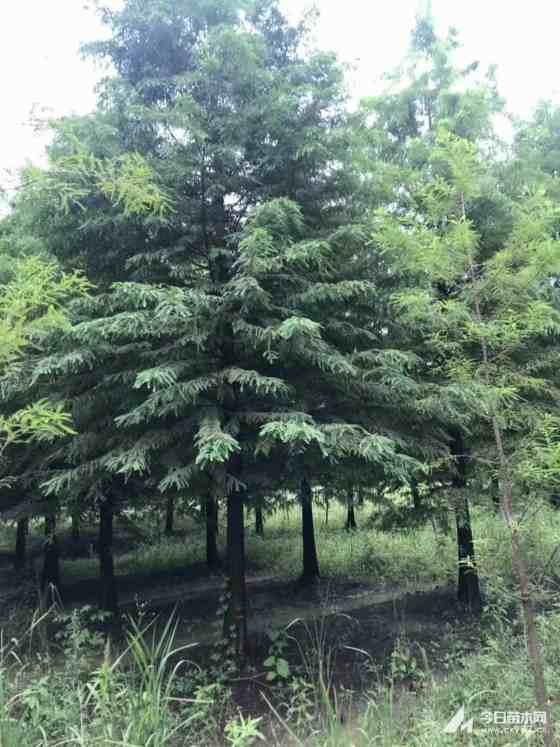12公分中山杉價格 基地13公分中山杉多少錢一棵