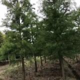 12公分中山杉价格 基地13公分中山杉多少钱一棵
