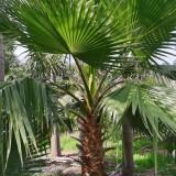 华盛顿棕榈树价格 福建华盛顿棕榈多少钱一棵