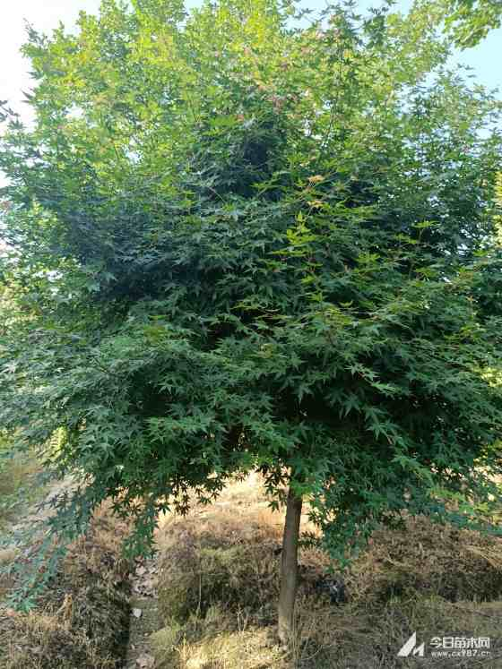 5公分鸡爪槭价格 浙江鸡爪槭苗多少钱一棵