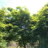 6公分日本红枫树价格 12公分日本红枫多少钱一棵