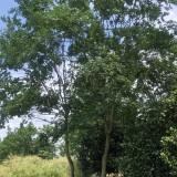 浙江高杆紫薇批发 1.5米~3米高杆紫薇价格