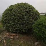 高度50公分海桐球小苗价格多少钱一株