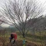 米径13公分日本红枫价格多少钱一棵
