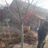 3公分日本红枫树价格 5公分日本红枫树苗多少钱一颗