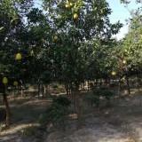 10公分香泡树价格是多少 浙江香泡树出售
