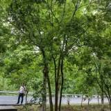 5米丛生朴树报价 安徽丛生朴树多少钱一棵
