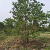 高3~4~5米丛生乌桕树价格 安徽乌桕树批发