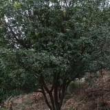 冠幅2米至8米杨梅树价格多少钱一棵