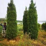 2米塔柏苗价格 3米塔柏树苗多少钱一棵