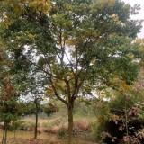 12公分无患子树 25公分无患子价格是多少钱一棵