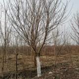 米径20公分樱花树价格多少钱一棵