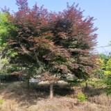 15公分红枫树多少钱一棵 浙江红枫树苗价格