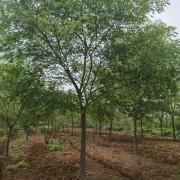 15公分朴树价格多少钱一棵 安徽滁州朴树基地