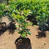 九里香盆栽价格 九里香苗多少钱一棵