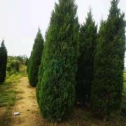 2米5塔柏树苗哪里有卖的 安徽塔柏基地批发