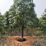 澳洲火焰木15公分价格  福建漳州澳洲火焰木