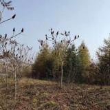 1米2米火炬树价格 3米高火炬树多少钱一颗