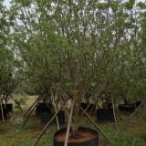 10公分柚子树价格 福建柚子树产地批发价
