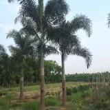 狐尾椰子树价格 福建狐尾椰子树苗基地报价