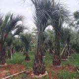 布迪椰子树价格 福建布迪椰子树苗报价