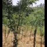 低价出5-6公分绿化用的皂角树 皂角树价格