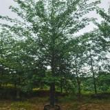 美人树 美丽异木棉报价 福建美人树