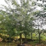 美人树价格 美丽异木棉多少钱一棵