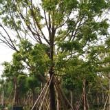 8米人面子树基地直供  广东人面子树