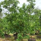 柚子树价格 福建柚子树多少钱一棵