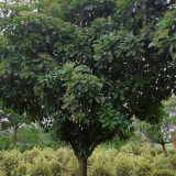 高杆本石楠树价格 高杆本石楠树多少钱一棵