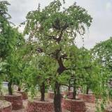 高3米5日本龙梅价格  日本梅花树批发基地