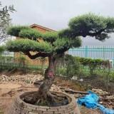 高2米5西班牙橄榄树供应价格多少钱一棵