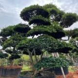 高5米日本茶梅报价  日本茶梅种植基地