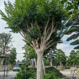 高5米日本紫薇树价格 福建原生紫薇基地批发