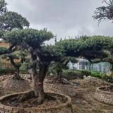 3米高西班牙橄榄树上车价 欧洲油橄榄种植基地