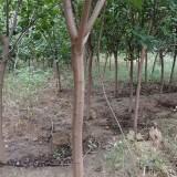 4公分精品黄栌树苗 青州黄栌种植基地