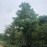 大腹木棉供应价格 大腹木棉树种植基地