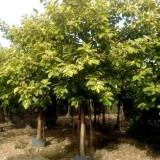 富贵榕价格 花叶富贵榕种植销售