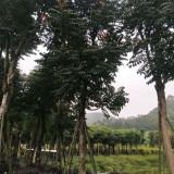 火焰木供应价格 红花火焰木基地种植