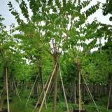 羊蹄甲 洋紫荆树 基地报价 绿化工程苗